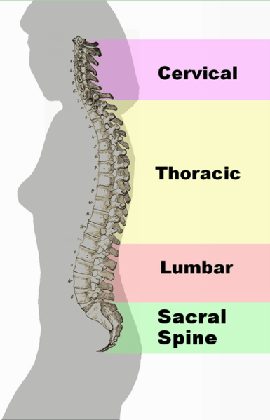 Back pain NYC. A spinal column illustration showing the cerivical spine, the thoracic, lumbar and scaral spine. NYC chiropractor that specializes in chrionic back pain and spinal alignment.